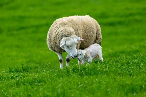 Schafe: Ihr Verhalten, Merkmale und Charaktereigenschaften