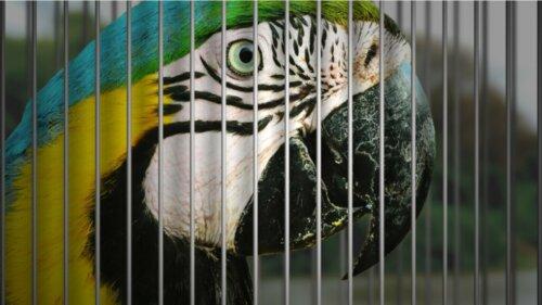 7 vom Aussterben bedrohte Vogelarten, die häufig als Haustiere gehalten werden