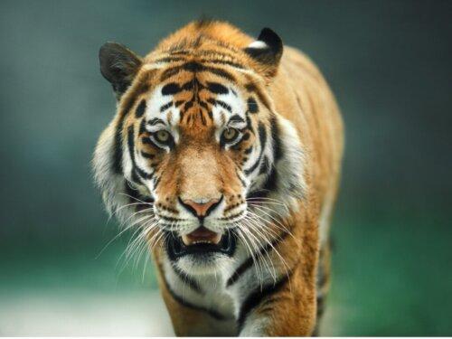 Das Verhalten von Tigern: Alles Wissenswerte