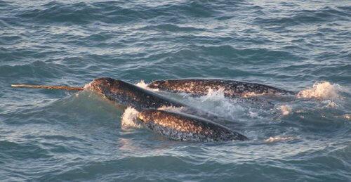 Narwale - im Meer