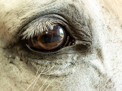 Glaukom bei Pferden: Ursachen, Symptome und Behandlung