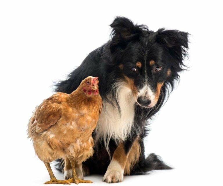 Warum attackiert dein Hund Hühner und was kannst du dagegen unternehmen?