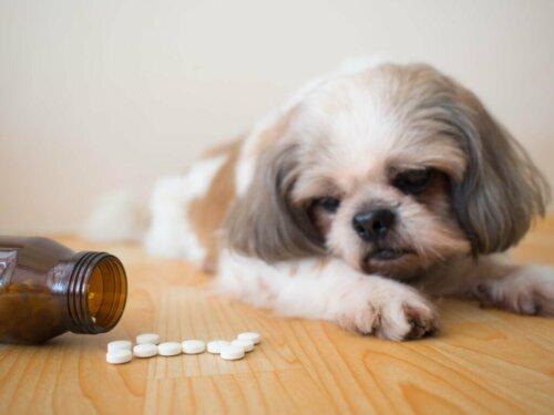 Procox für Hunde: Anwendungen und Nebenwirkungen