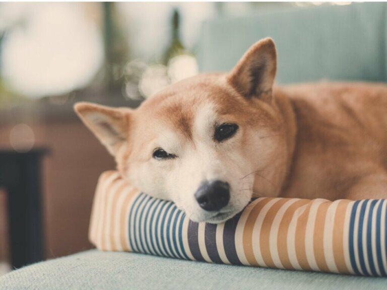 Warum drehen sich Hunde im Kreis, bevor sie sich zum Schlafen legen?