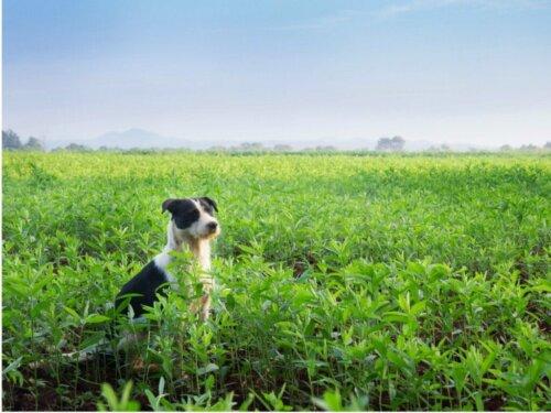 Mucuchies: Alles Wissenswerte über diese Hunderasse