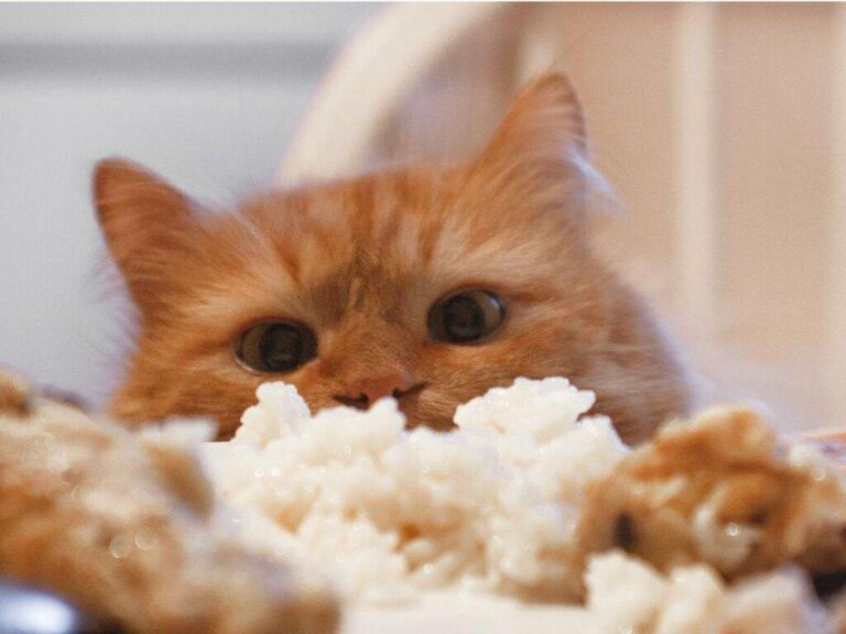 Dürfen Katzen Reis fressen?