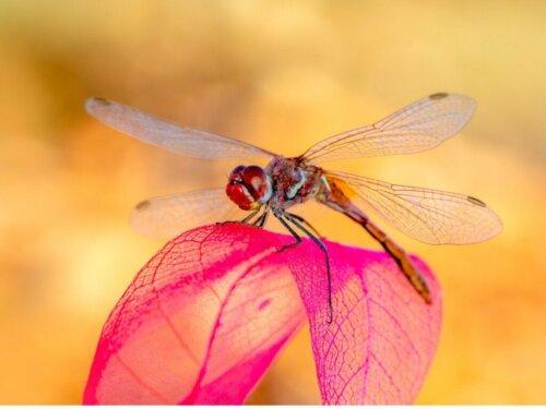 Libellen - ein weiteres Opfer der globalen Erwärmung