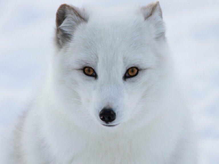 Tiere am Nordpol: 5 vom Aussterben bedrohte Arten