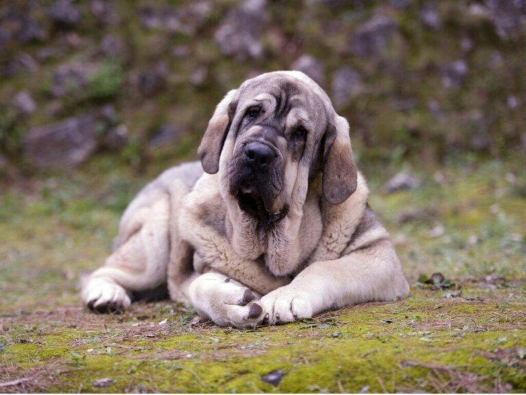 Pyrenäen-Mastiff: Alles Wissenswerte über diese Rasse