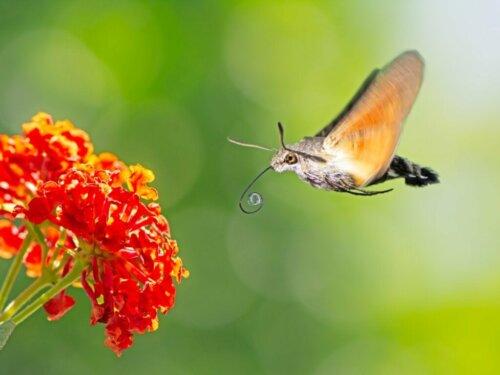 Der Kolibrischwärmer: Lebensraum und Merkmale