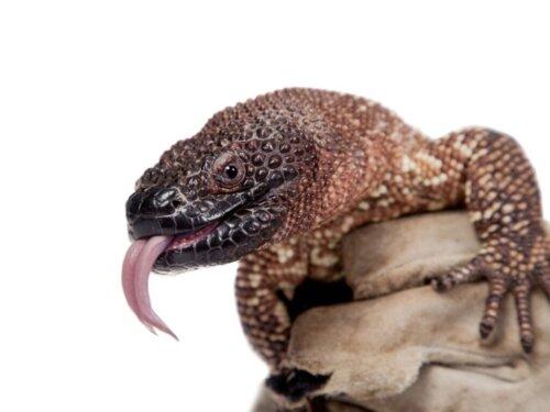 Die Skorpion-Krustenechse: Lebensraum und Merkmale