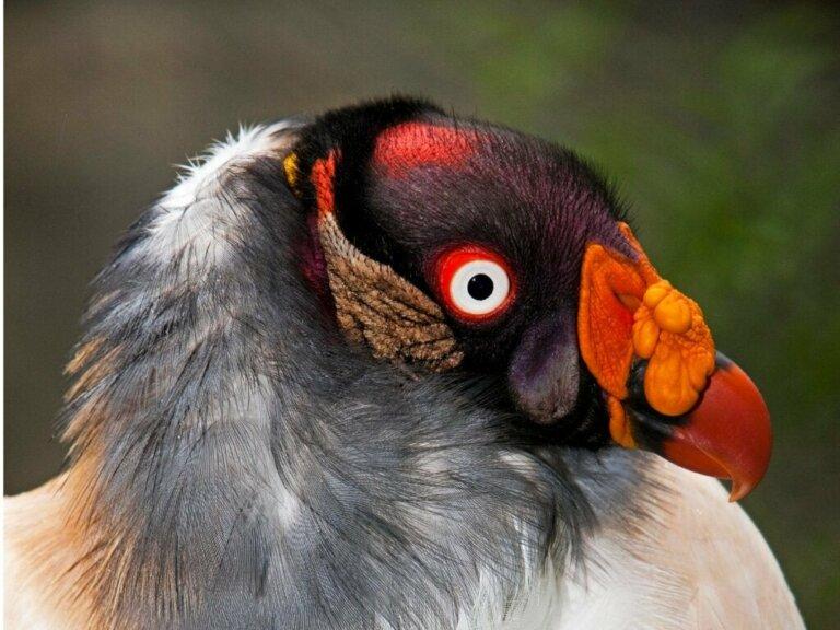 Königsgeier: Lebensraum und Eigenschaften