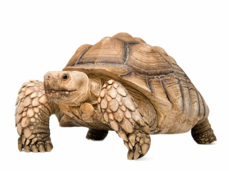 Spornschildkröte: Lebensraum und Merkmale