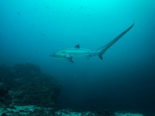 Fuchshai: Lebensraum und Merkmale